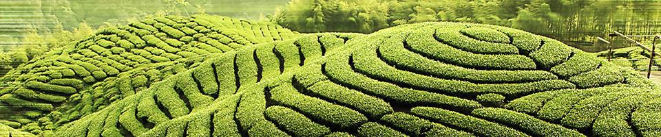 【写真】茶畑